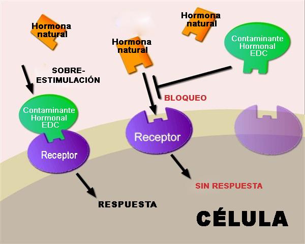 Dos vías de actuación de los EDCs (sobre-estimulacion y bloqueo).