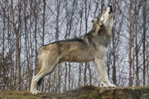 lbo-aullando-wolf-howling