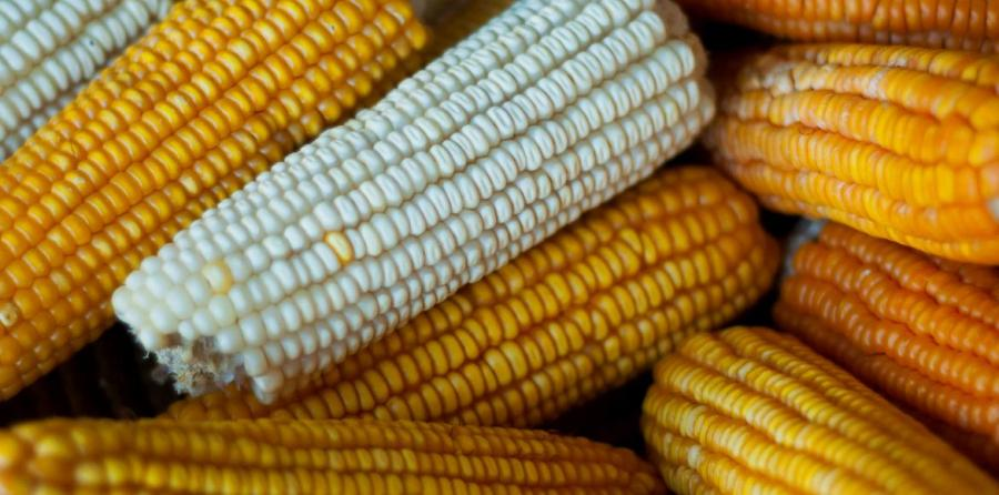 maiz-vitamina-a-joslin-isaacson